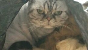 Koda cat being weird in raw wool.  :3