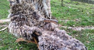 Wild woolie on the drying chair #handfelted #raw #fleece #eco #animalfriendly #s...